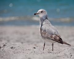 gull (Will Montague) Tags: ocean blue sea beach gulfofmexico water sand nikon gulf florida bokeh seagull gull bluewater montague d90 annamariaisland willmontague