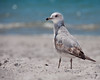 gull (Will Montague) Tags: ocean blue sea beach gulfofmexico water sand nikon gulf florida bokeh seagull gull bluewater montague d90 annamariaisland willmontague