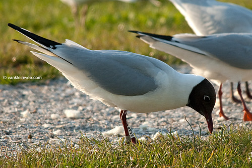 Black-headed Gull, adult, W[E5AP]