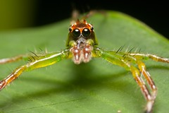 Jumper (-Azri) Tags: macro insect spider jumper makro jumpingspider outing binatang lakegarden serangga tamantasikperdana klnatureouters