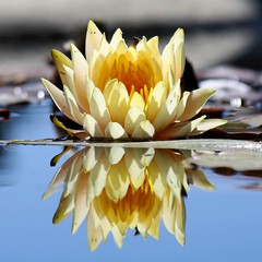 Attaining Wisdom (tinyfroglet) Tags: plant flower reflection nature water fountain yellow flora lily bokeh blueribbonwinner naturewatcher wonderfulworldofflowers rubyphotographer awesomeblossoms onlythebestofnature ringexcellence