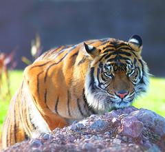 Meow! (gbrummett) Tags: arizona zoo tiger az tigers phoenixzoo stalking canonef100400mmf4556lisusmtelephotozoomlens canon5dmarkiidigitalcamera