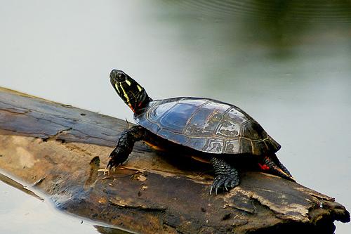 turtle zevotron