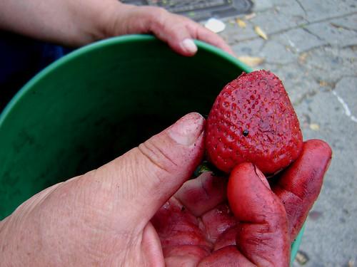 """En cuanto la compradora se retiró, Carmen afirmó: """"Ya esta fresa está muy mojada, blanditica blanditica… así no paga venderla porque no me vuelven a comprar…"""". Dudó unos momentos, revisó el fondo de la caneca y finalmente decidió: """"Me voy a ir para la cas"""