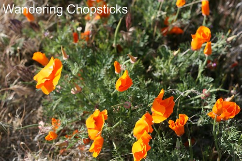 Antelope Valley California Poppy Reserve 7