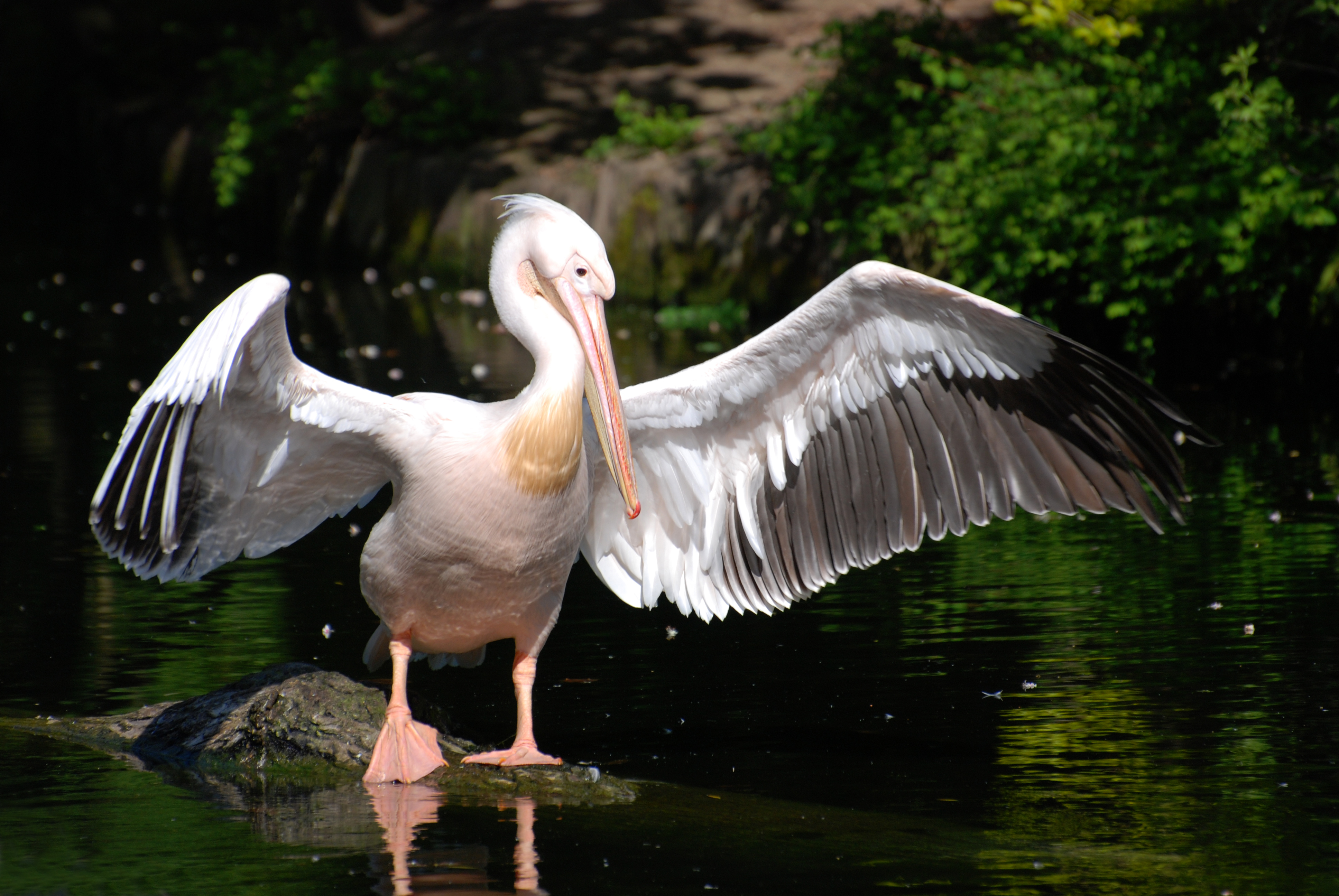 フリー写真素材 動物 鳥類 ペリ...