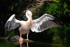 [フリー画像] 動物, 鳥類, ペリカン科, ペリカン, 201005230700