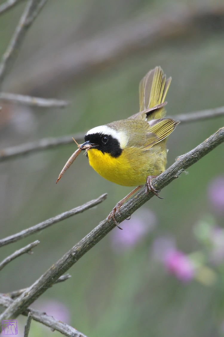 Common Yellowthroat 0510o-2