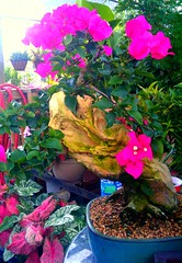 Tropical Bonsai- Bougainvillea (mitejen) Tags: gardens bougainvillea bonsai nontraditional