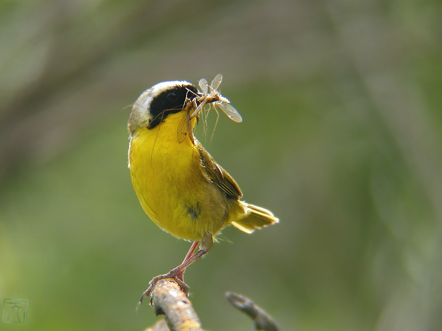 Common Yellowthroat 0510o-4