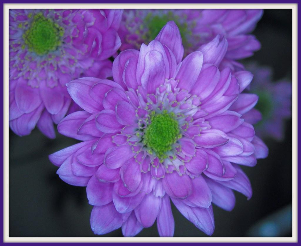 Olympus C-4040 flower
