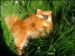 capou in grassland