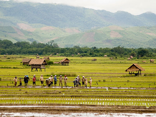 Paddy Culture - Luang Namtha, Laos