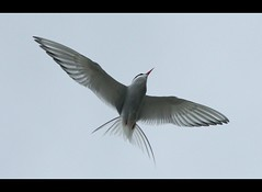 Artic Tern II (Emil Thorsteinsson) Tags: