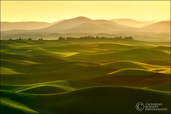 Golden Palouse Waves (Zack Schnepf) Tags: green beautiful yellow backlight rural sunrise landscape gold golden washington waves patterns hills explore zack frontpage rollinghills palouse schnepf pastural