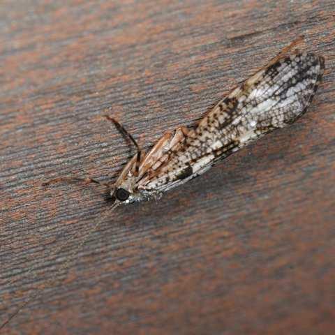 ヒゲナガカワトビケラ Stenopsyche marmorata