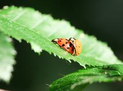 Rafz_143_23052010_18'21 (eduard43) Tags: nature tiere leaf wildlife natur ladybug makro blatt marienkfer