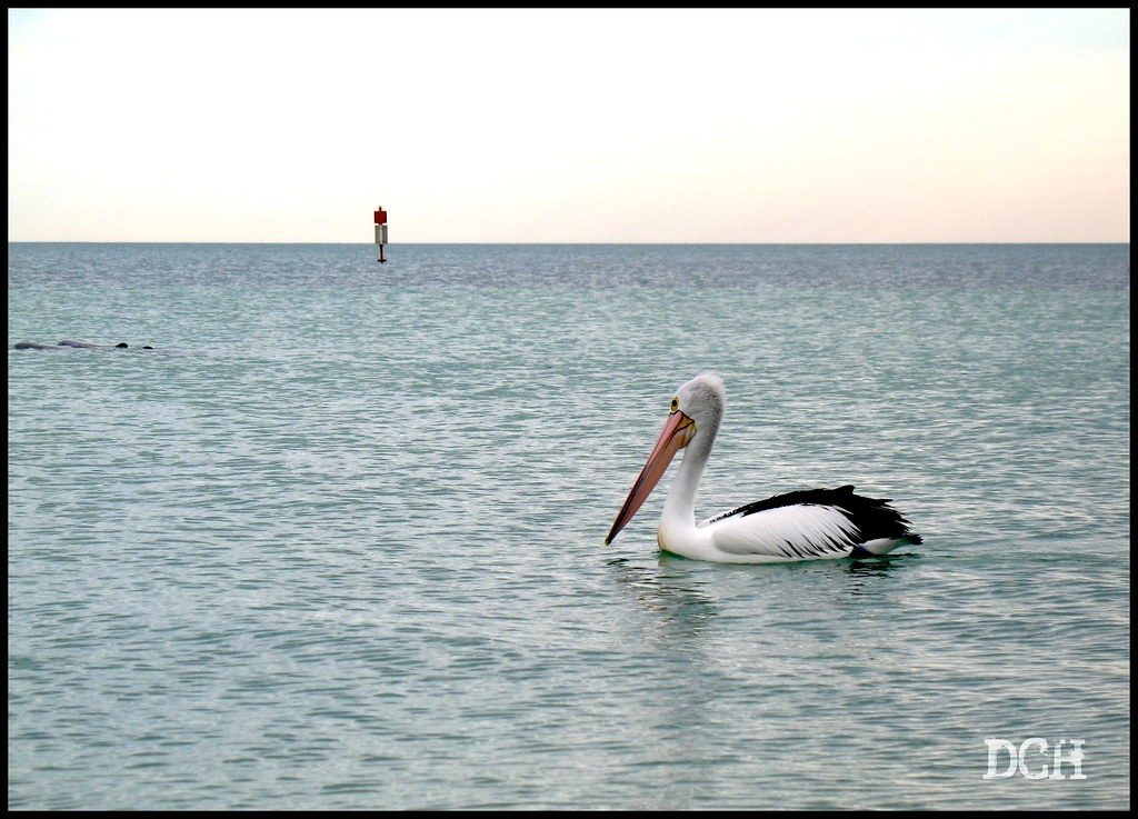 Pelican Logic: Where There Are Dolphins, There Are Fish