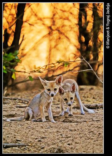 Desert fox cubs (Vulpes vulpes pusilla)