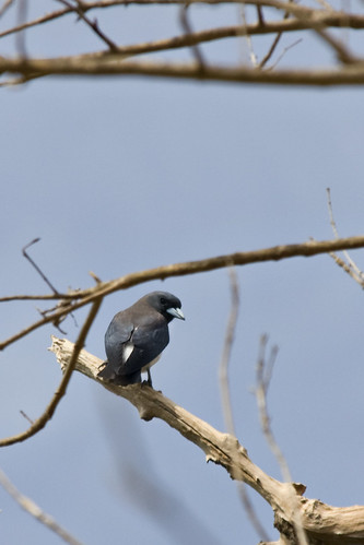 Dark Blue Bird