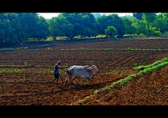 LIFE IN INDIA SERIES :: Ox Power vs Horse Power (GOPAN G. NAIR [ GOPS Creativ ]) Tags: india tractor farm farming bull agriculture ploughing gops gopsorg gopangnair