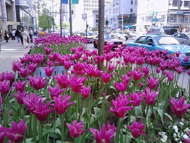 Tulips DT
