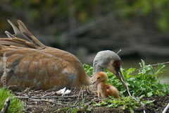 Sandhill Crane with chick & egg