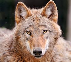 [フリー画像] 動物, 哺乳類, イヌ科, 狼・オオカミ, 201006051700