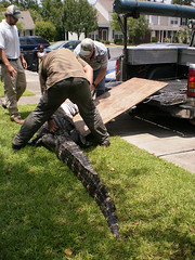 Gator going for a ride (Nancy_Allen) Tags: alligator oakbluff truch
