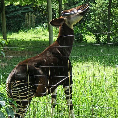 Okapi #1