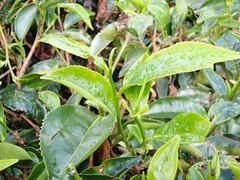 Une plante de thé