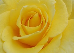 Lemon Chiffon (Colleens Creations) Tags: flower rose yellow mimamorsflowers awesomeblossoms colleenscreations hennysgarden
