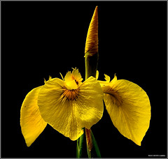 Yellow Iris (West County Camera) Tags: nature fleurs npc ao et paysages wow2 topshots wowhalloffame mixedflowers photosandcalendar flowersarebeautiful platinumheartaward excellentsflowers natureselegantshots exquisiteflowers mimamorflowers awesomeblossoms flickrflorescloseupmacros panoramafotogrfico saariysqualitypictures thebestofmimamorsgroups worldsartgallery magicunicornverybest magicunicornmasterpiece theoriginalgoldseal flickrsportal silveramazingdetails flowersofmix artistoftheyearlevel2