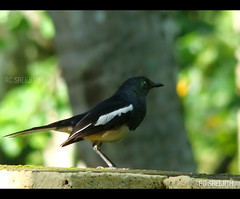 Magpie Robin ( Indian Robin ) (RC Sreejith | ) Tags: nature robin rc sreejith magpierobin indianrobin sreejithrc