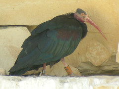 Bald Ibis, Birecik (Turkey), 12-May-10 (Dave Appleton) Tags: bird birds turkey birecik waldrapp eremita criticallyendangered geronticus baldibis geronticuseremita