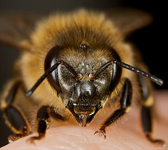 Pleased to meet you..... (radio4) Tags: insect australia melbourne bee macrography naturesfinest apismellifera europeanhoneybee specinsect buzznbugz macrolife beautifulmonsters