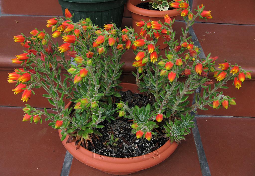 Flores De Echeveria Para Comparar P 225 Gina 127