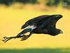 Harris Hawk, Turbary Sanctuary, Preston, UK (Mikey Stephens) Tags: uk preston harrishawkinflight turbarysanctuary