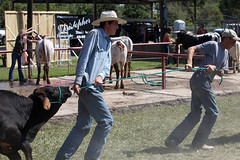 If he will, he will; If he won't, he won't... (wyojones) Tags: black cowboys pull fight texas boots jeans steer bluejeans dust winnie calf cowboyhat bovine tugofwar stubborn ffa yearly livestockshow brownears wyojones gimmecaps texasriucefestival