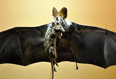Bat Dinner (marty_pinker) Tags: stuffed rat bat royalontariomuseum october2010