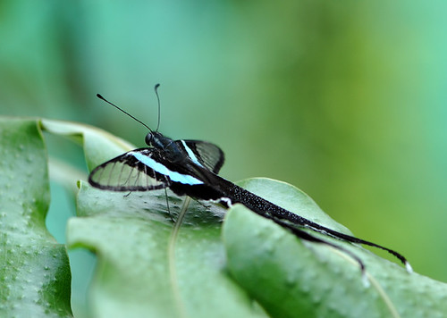 White Dragontail (Lamproptera Curius) 燕鳳蝶