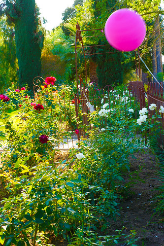 pink balloon over the rose garde