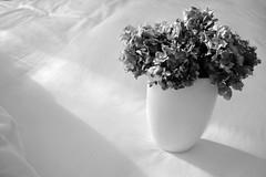 vaso (enrico sprea) Tags: vaso bianco fiori ortensie letto luce ombra brianza lombardia italia bwartaward biancoenero blackandwhite ininterni monocromo oggetto ceramica piano pentaxlife foglie vegetale decorazione fiorisecchi sole recipiente contenitore casa accessorio