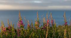 Purple (jasty78) Tags: purple flowers morning goldenhour sunrise nikon d7200 sigma350mmf14 14mm bokeh