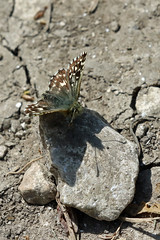 Grizzled Skipper (Roy Lowry) Tags: cerneabbas gianthill grizzledskipper pyrgusmalvae