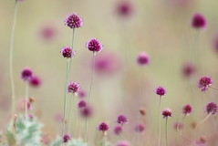 ail à tête ronde ( Allium sphaerocephalon ) Erdeven 170701a2 (papé alain) Tags: fleurs fleursdesdunes ailàtêteronde alliumsphaerocephalon erdeven morbihan bretagne france
