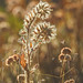 Fiddlehead and Buckwheat
