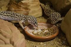 20170627X1920_Leopardgecko_0090 (RascheBilder) Tags: leopardgecko raschebilder