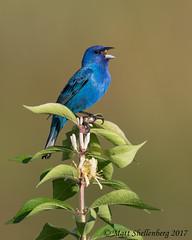 Indigo Bunting (Matt Shellenberg) Tags: bird blue indigo bunting indigobunting