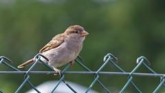 -BASK3966- (Baspherical) Tags: bird sparrow animal k1 pentax 200mm